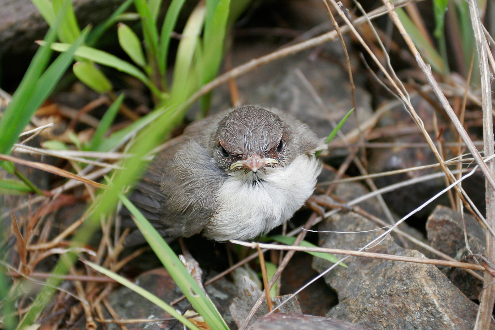 File:Baby Bird Learning To Fly.jpg