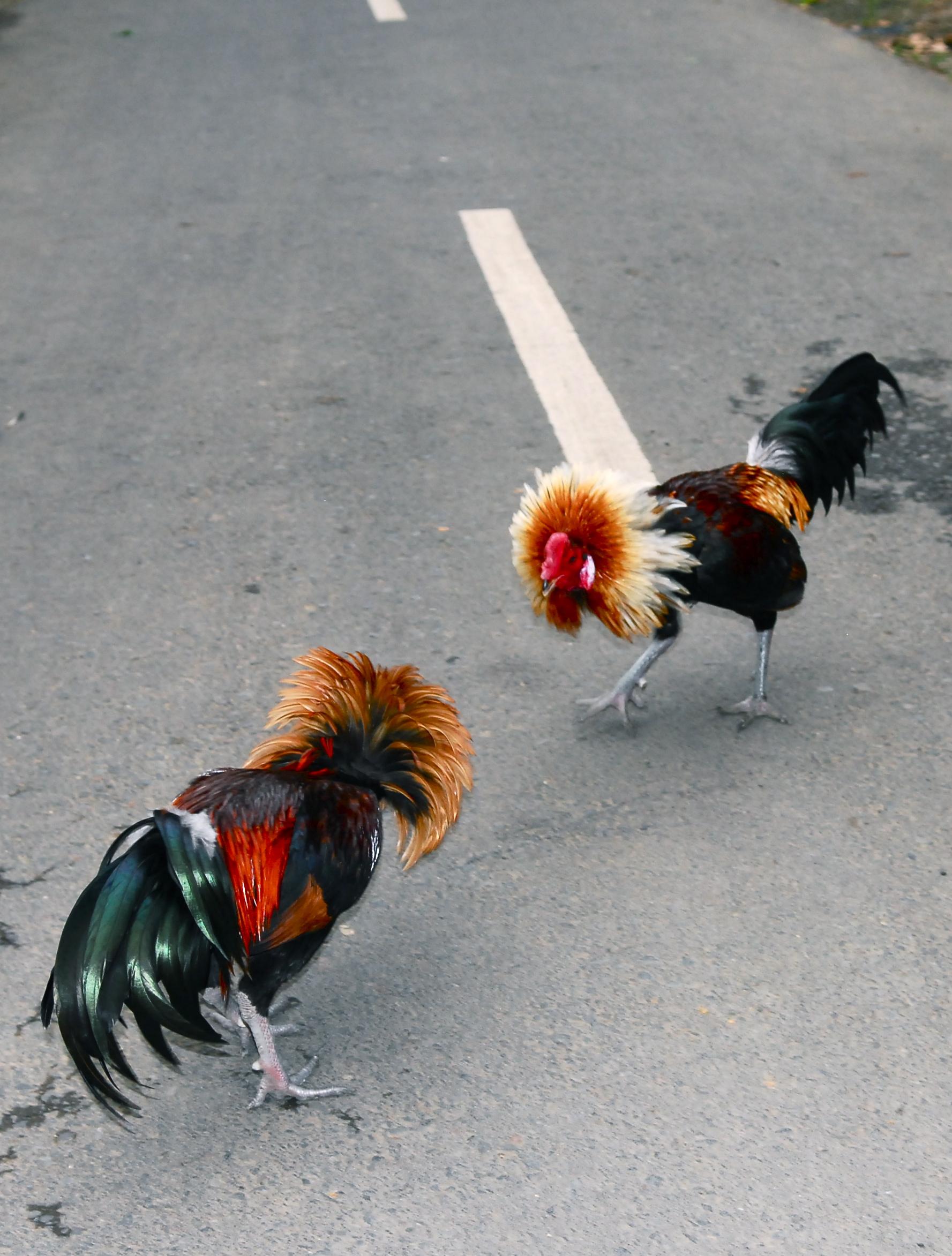 Cocks Jpg 85