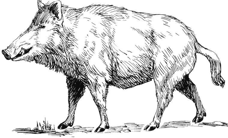 Subor Boar Psf Png Wikipedia