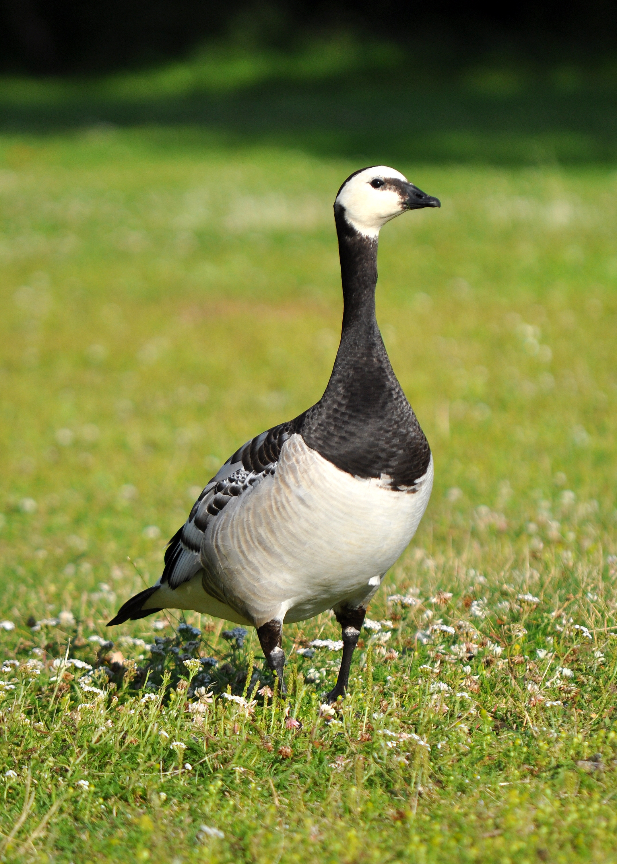 Hunting Barnacle Goose in iceland