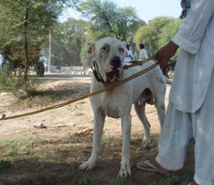 Pakistani Bully Dog Breed