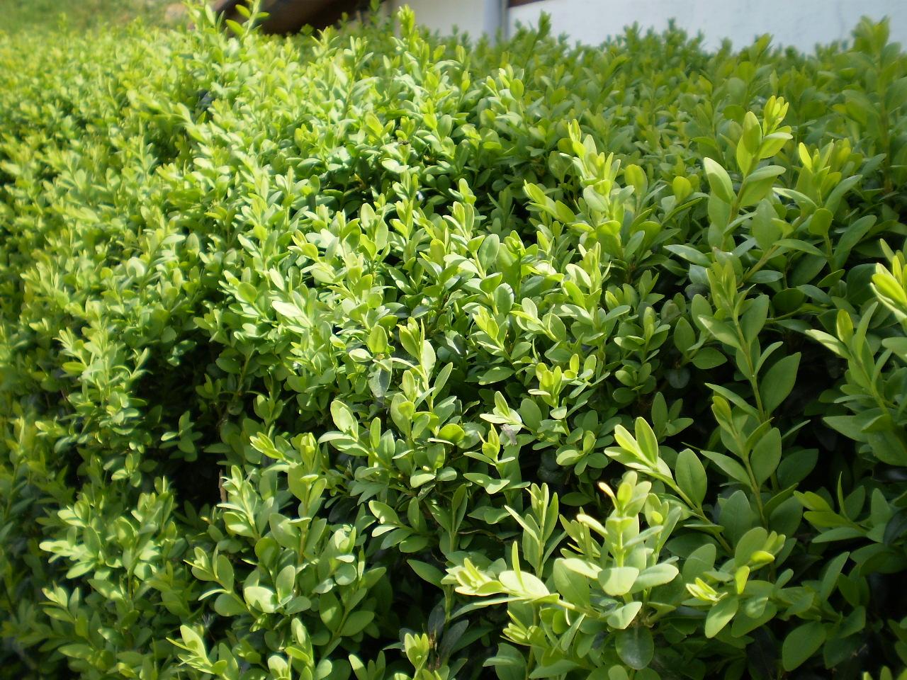File buxus sempervirens con abundantes hojas for Arbustos de hoja perenne para jardin