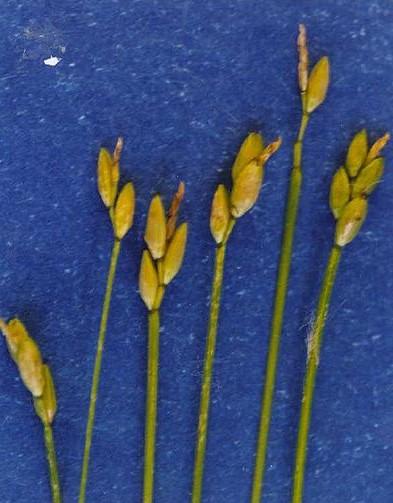 Depiction of Carex leptalea