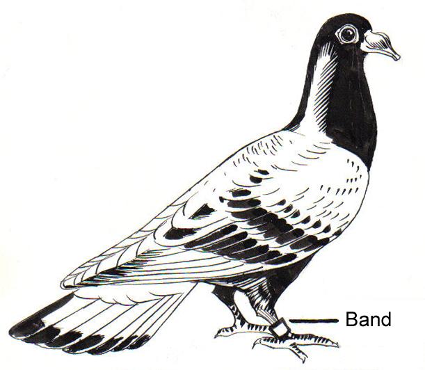 File:Carrier Pigeon (PSF).jpg
