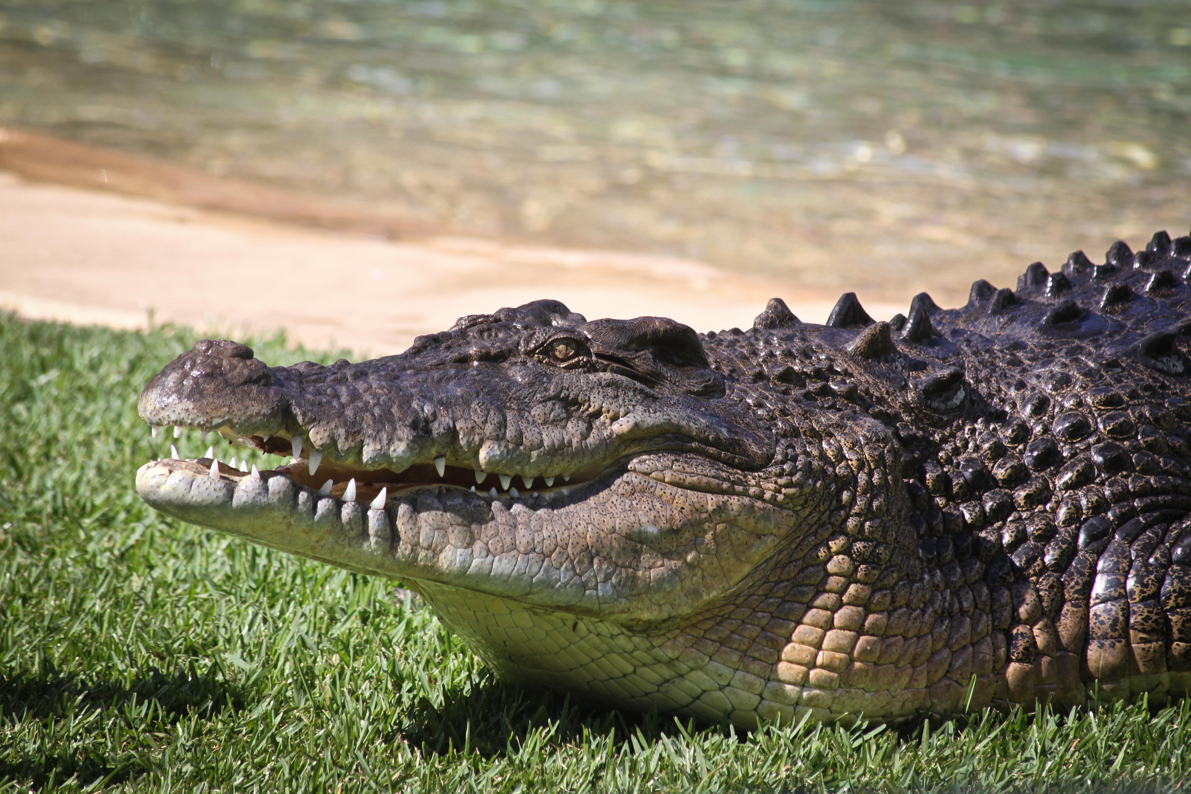 искусствоведы восхищались самый большой крокодил в мире фото что