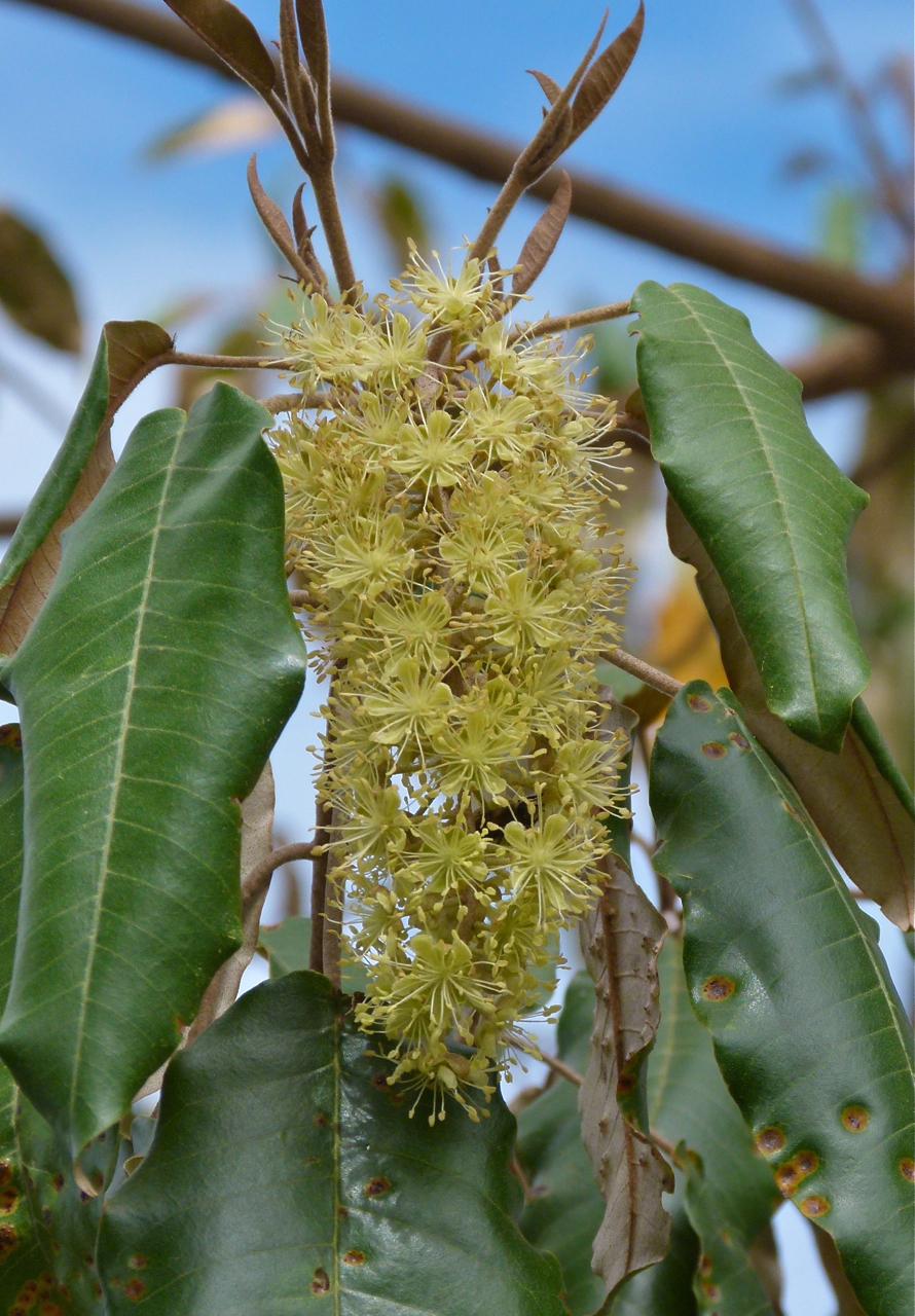 croton megalocarpus  u2014 wikip u00e9dia