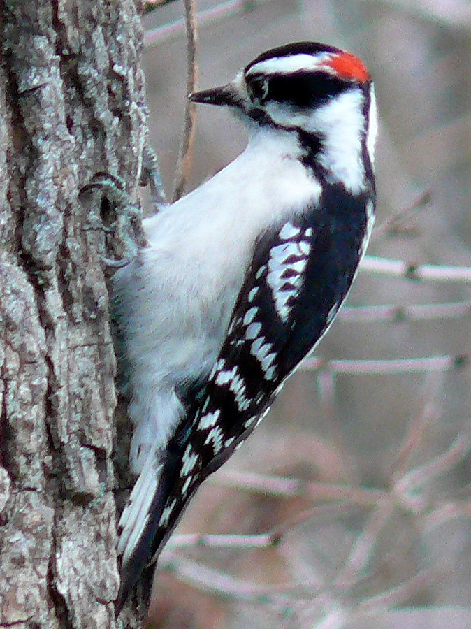 Adult Downy Woodpecker