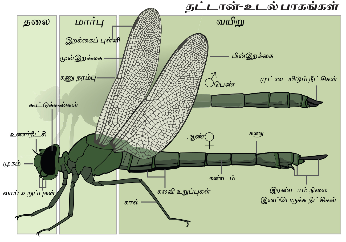 File:Dragonfly anatomy Tamil-2.jpg - Wikimedia Commons
