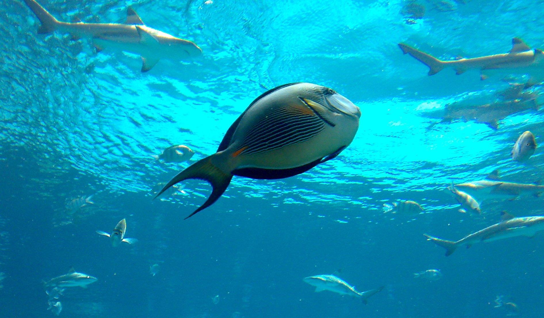 File Dubai Atlantis Aquarium 1201200712519 Acanthurus