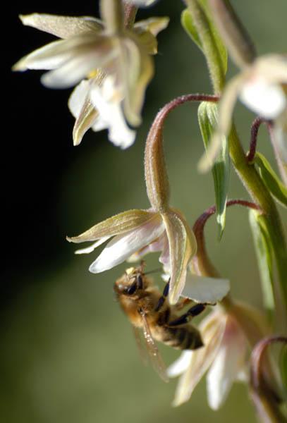 File:Epipactis palustris2 2007 07.jpg