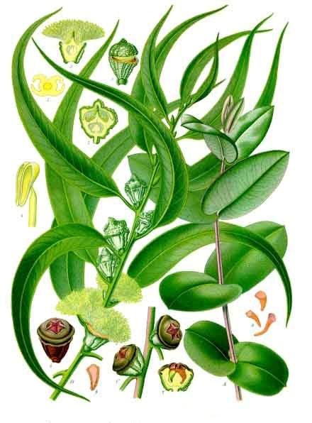 Plantas y terapias alternativas: la Medicina Naturista Universal+Secretos de salud, belleza y buena vibra: Eucalyptus_globulus_-_K%C3%B6hler%E2%80%93s_Medizinal-Pflanzen-147