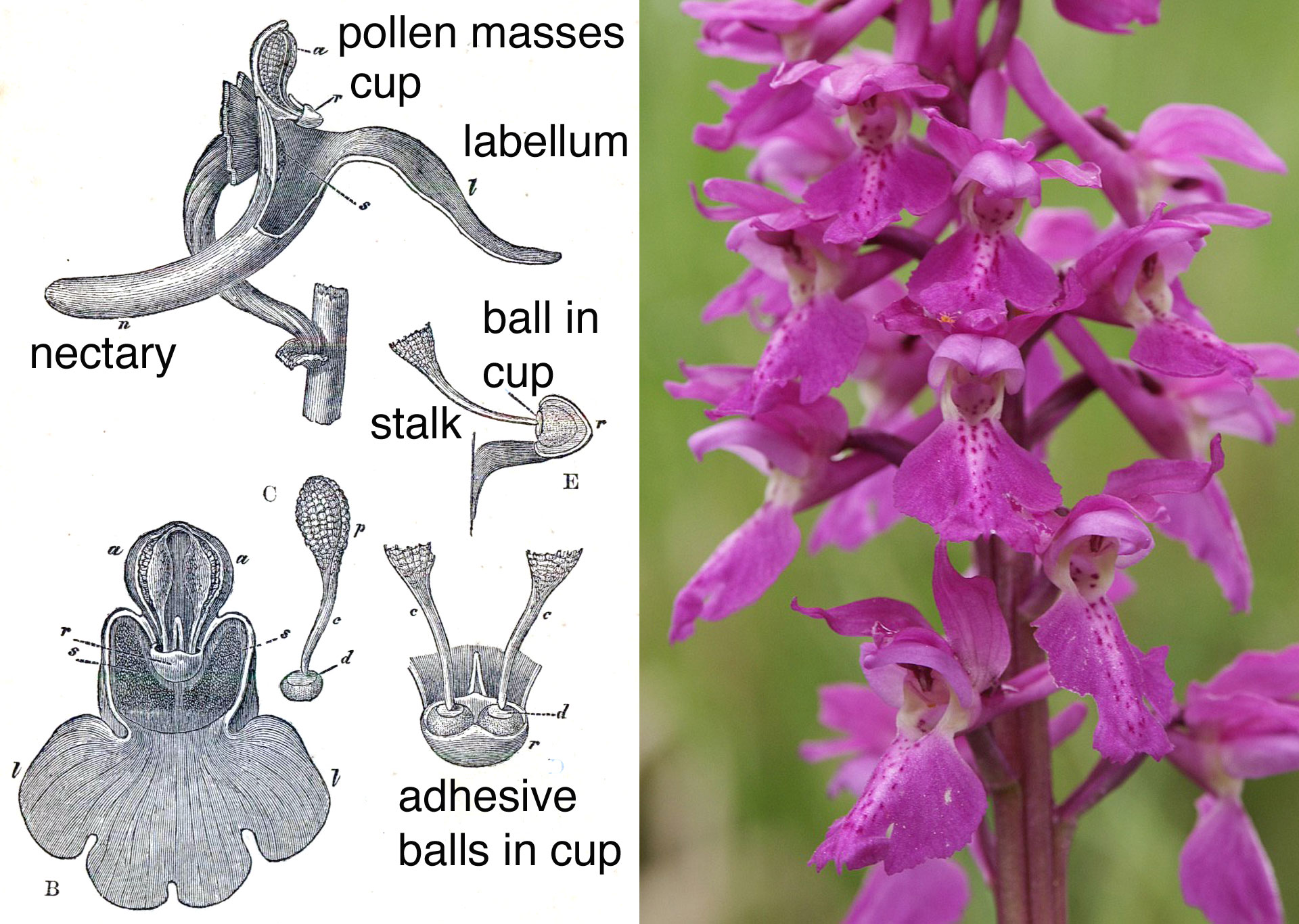 Orchid Scientific Drawing British Orchids[edit