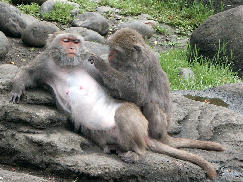 morphology of the japanese macaque essay