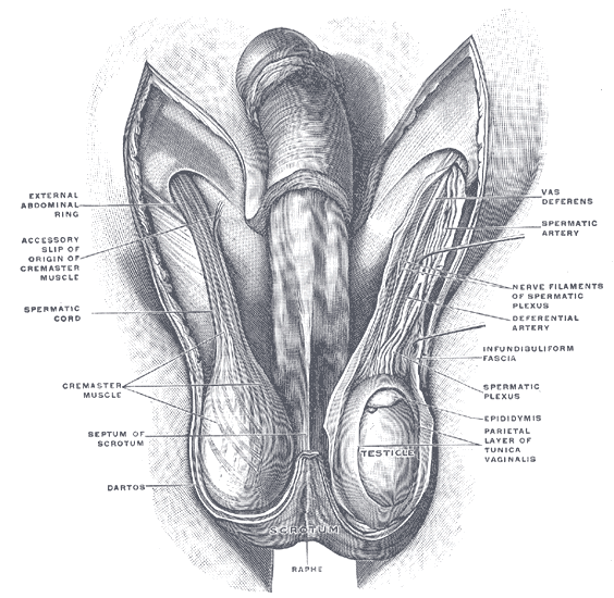 Artery To The Ductus Deferens Wikipedia