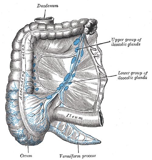 Superior Mesenteric Lymph Nodes Wikiwand