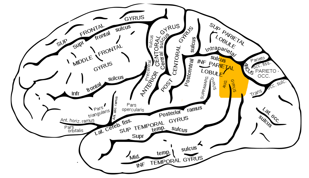 Angular gyrus - Wikipedia