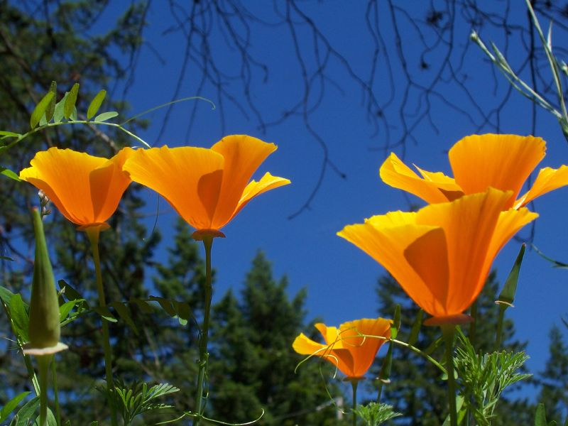 Group of California Poppy