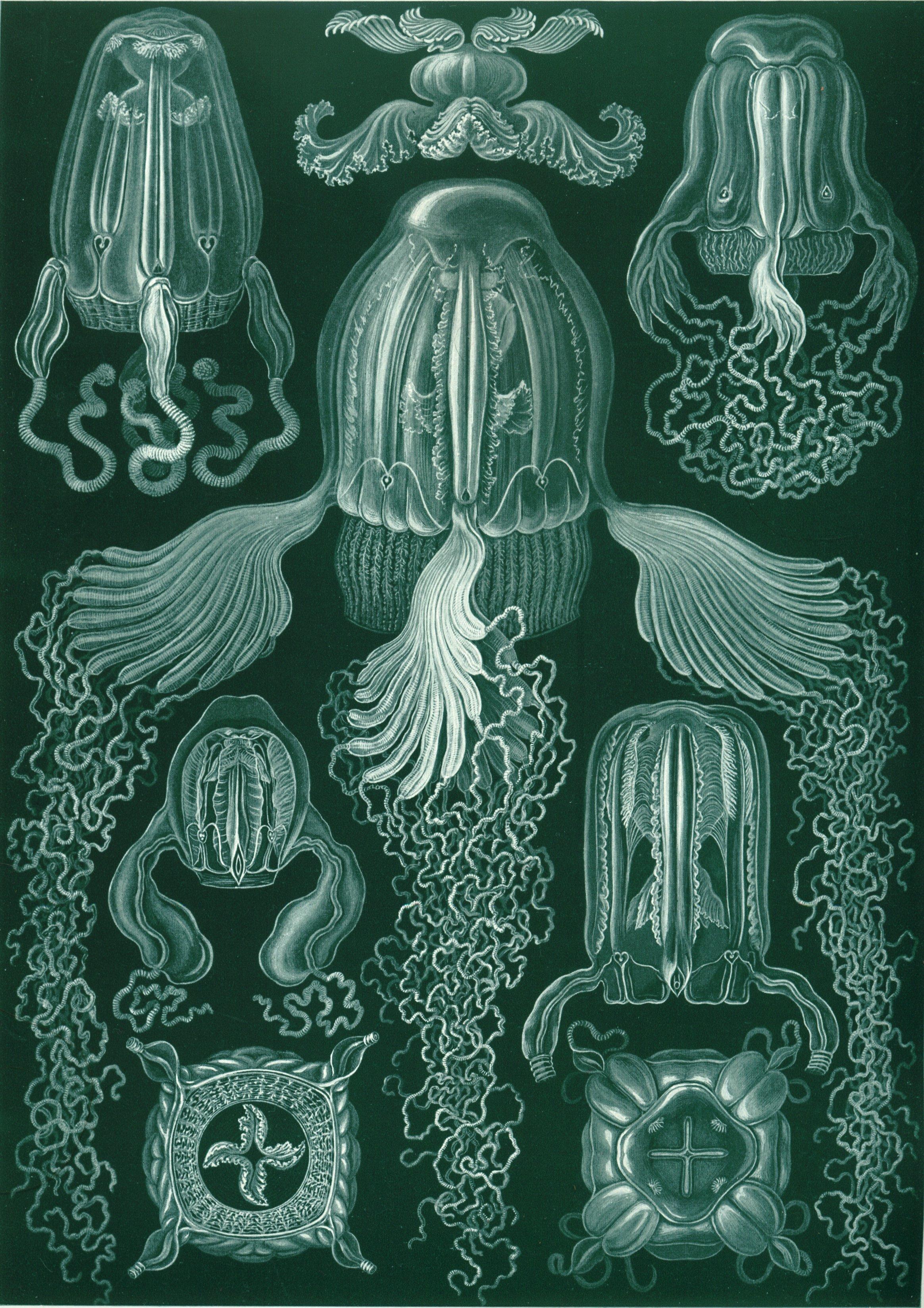 Box Jellyfish Wikipedia