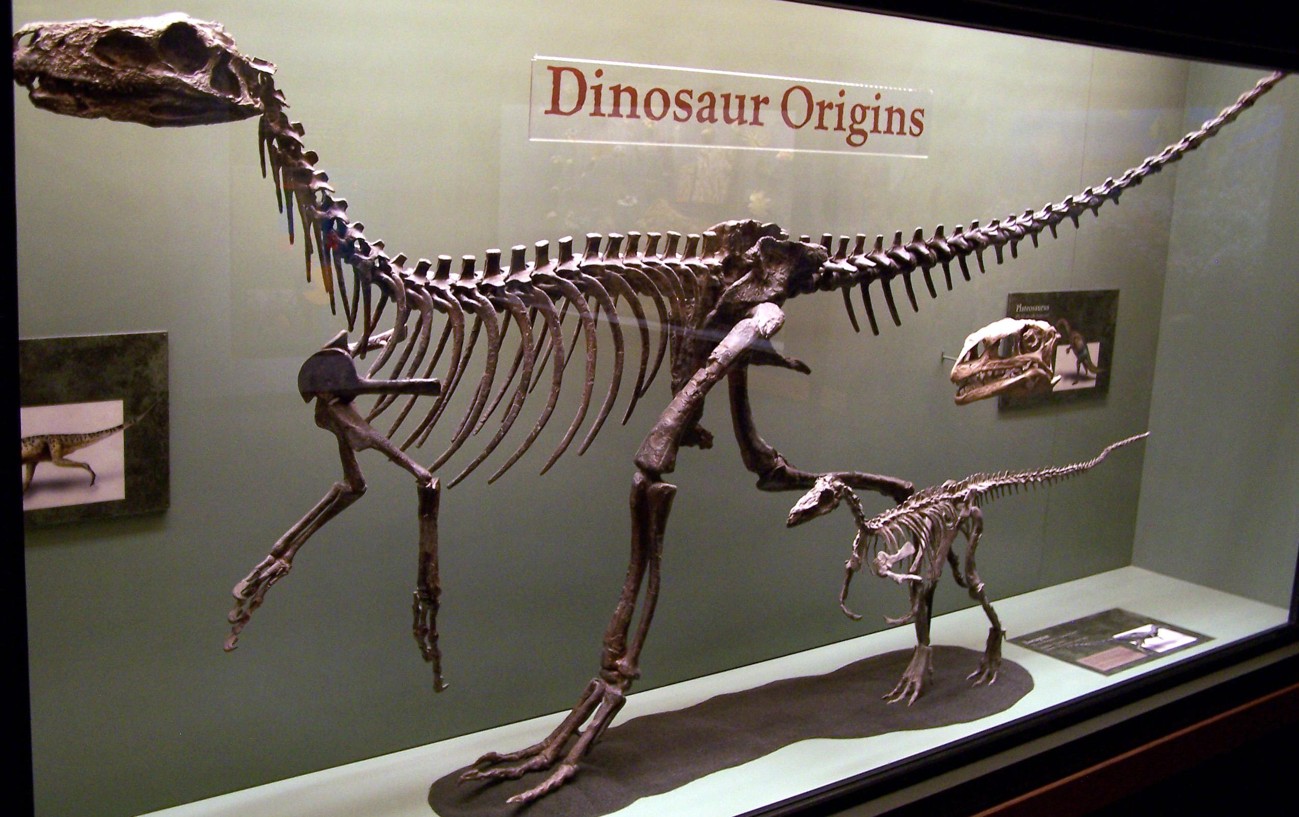 Die frühen Dinosaurier Herrerasaurus (groß), Eoraptor (klein) und ein Plateosaurus-Schädel