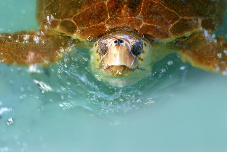 File:Hilda, a Loggerhead sea turtle, was rehabilitated and ...