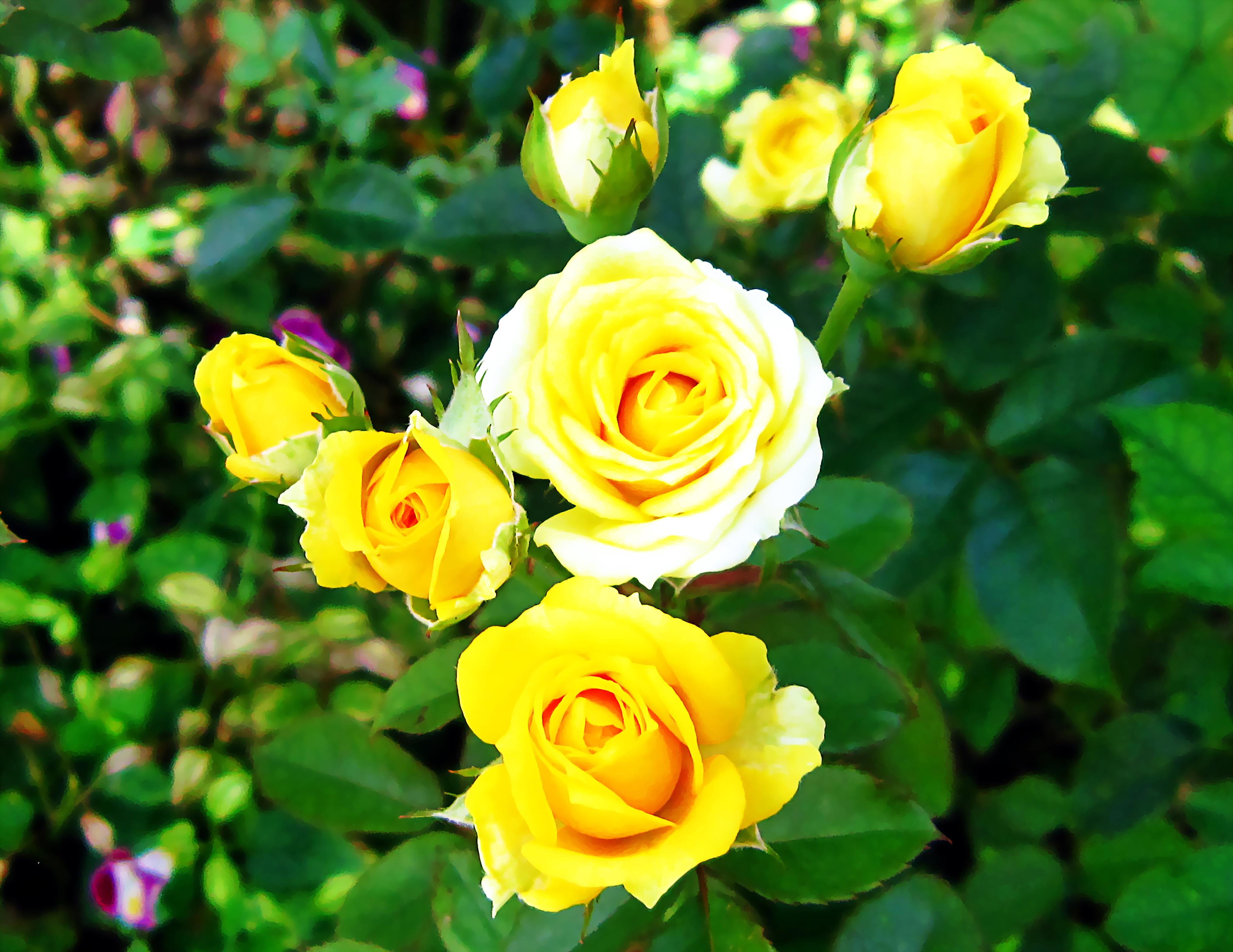 File:Hoa hồng vàng.jpg - Wikimedia Commons