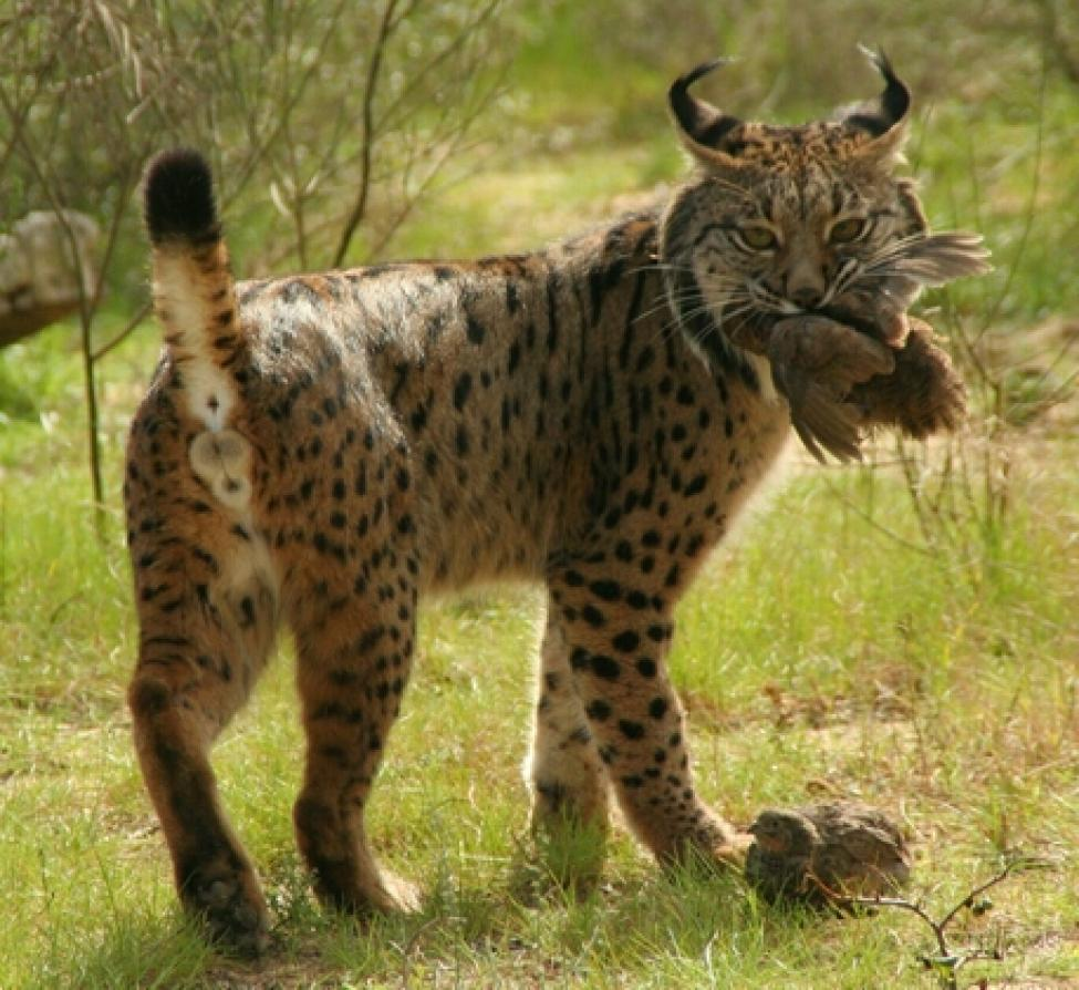 Iberian Lynx eating bird.jpg