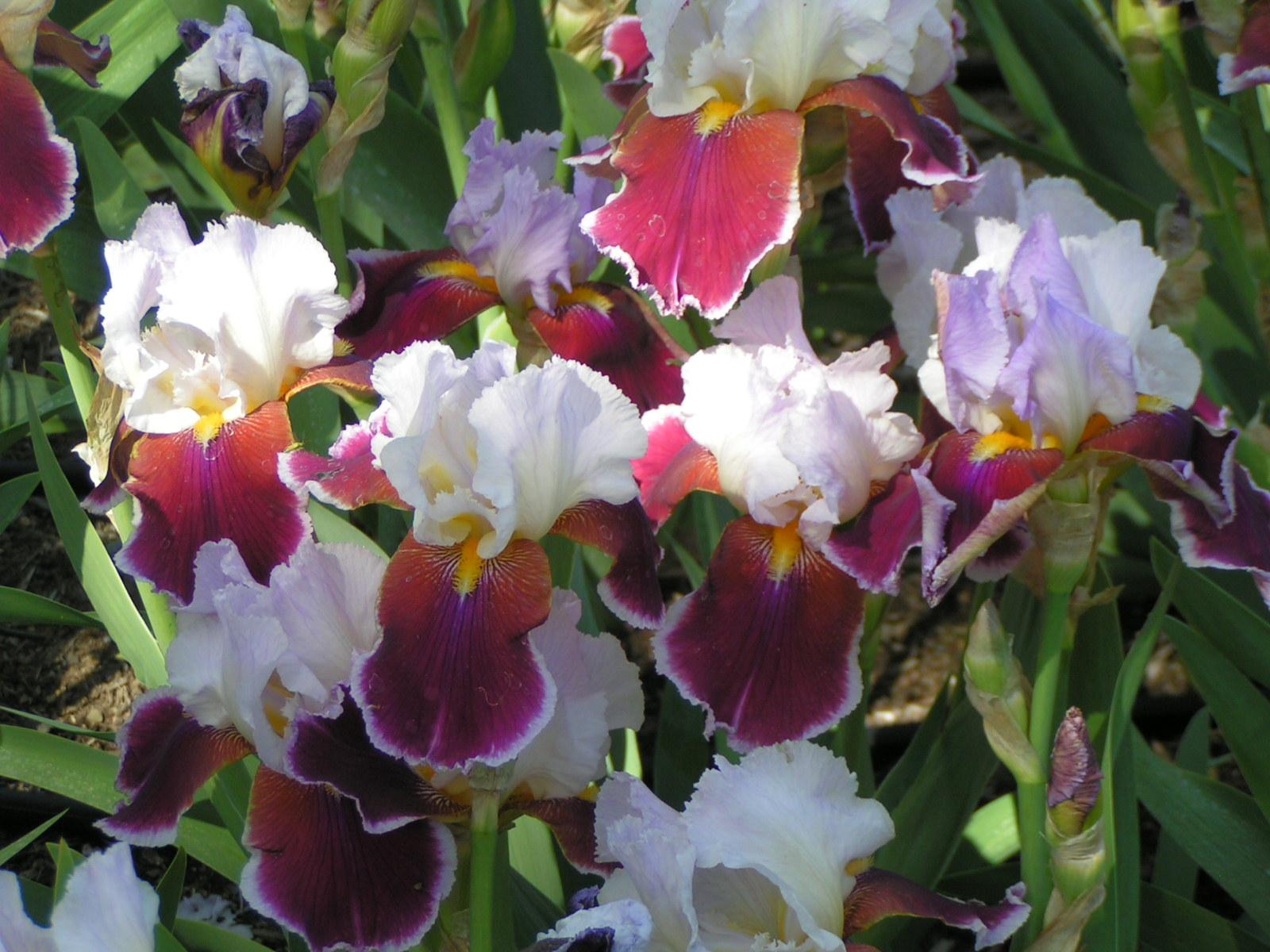 File Iris flower0066 Wikimedia mons