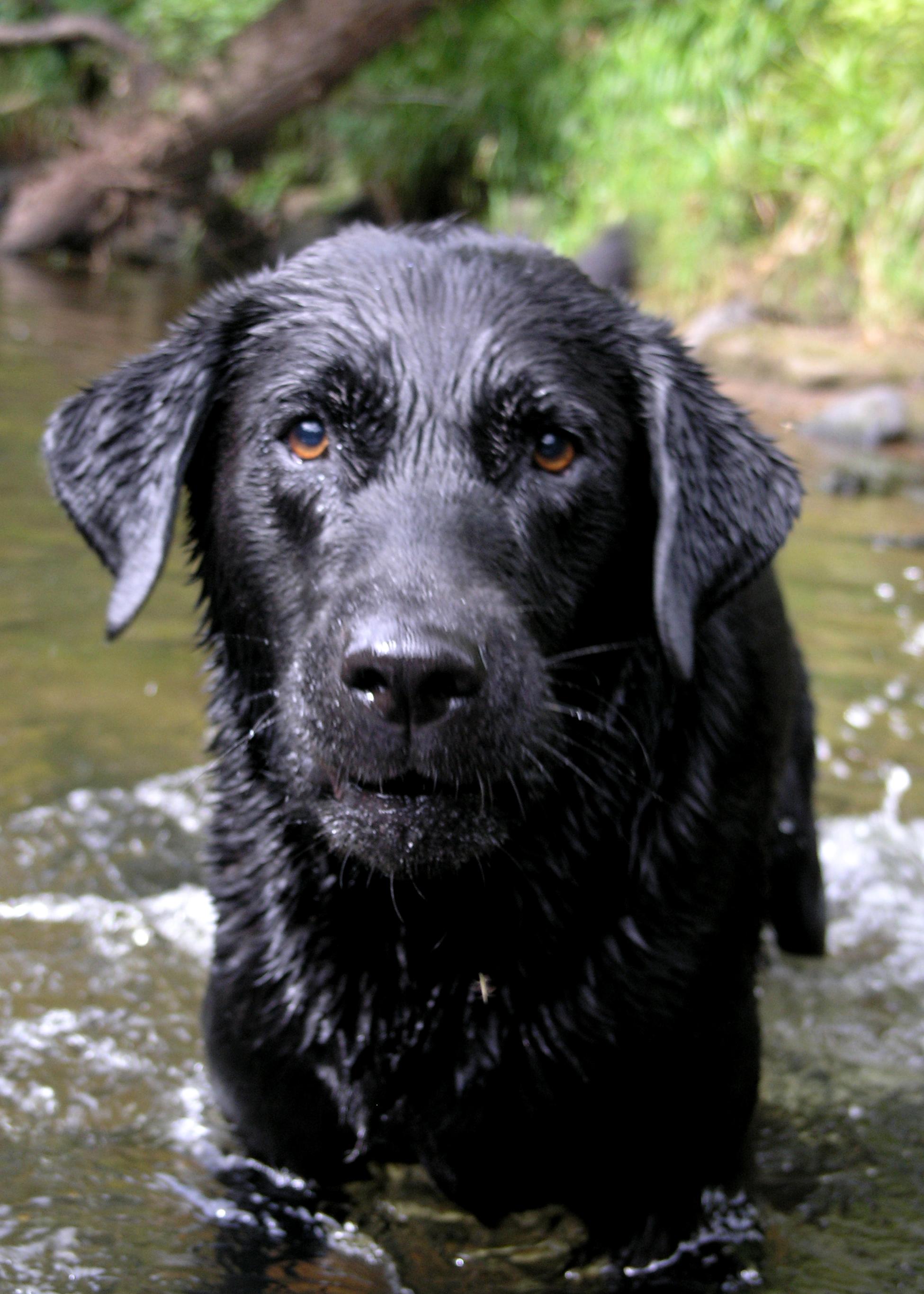 File:Labrador Retriever water.jpg - Wikipedia