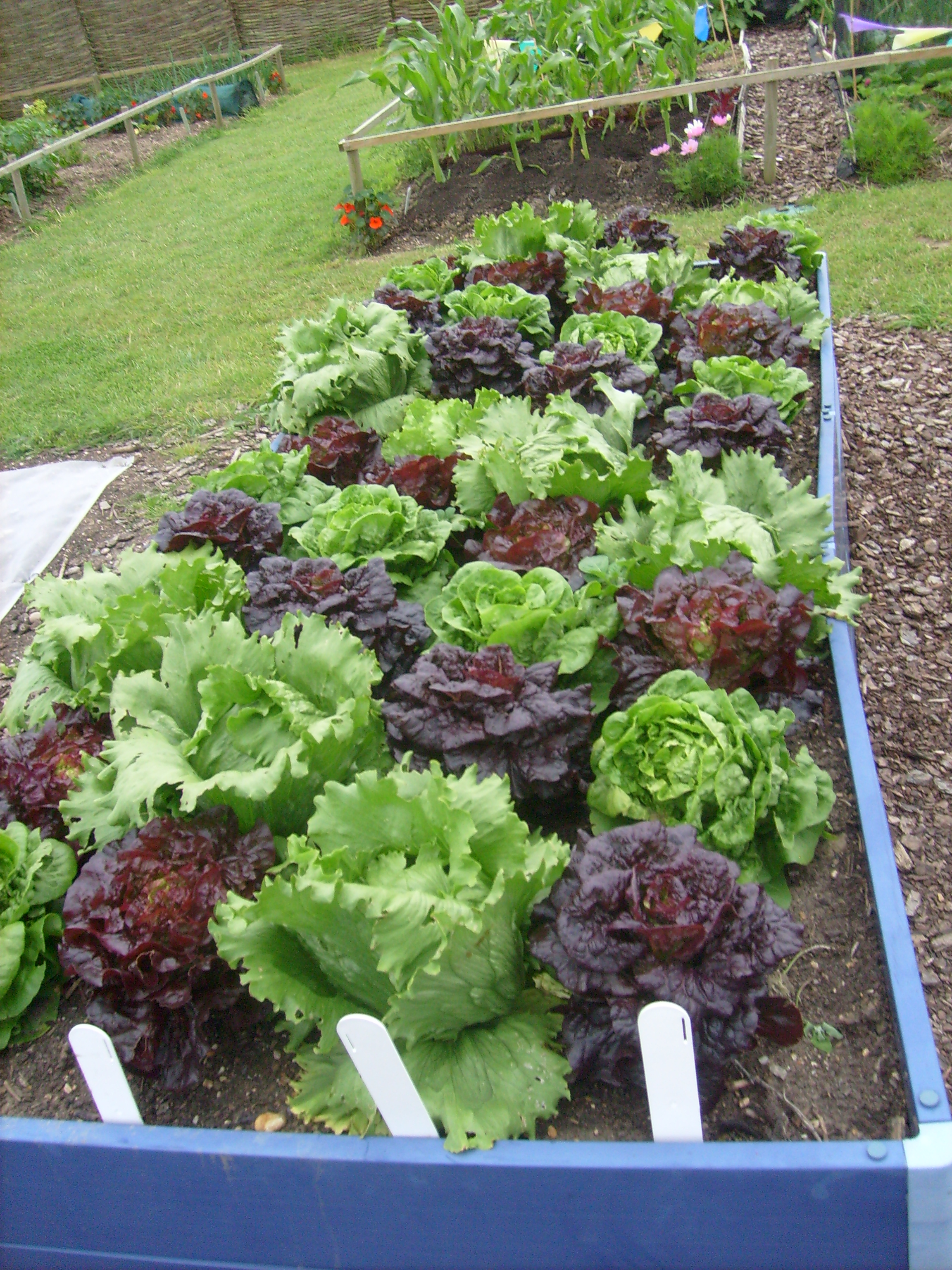File lettuces in hyde hall vegetable garden jpg for Vegetable garden