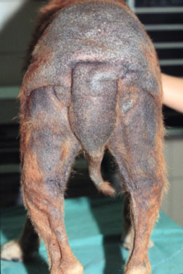 Black Flaky Skin On Dogs Tail