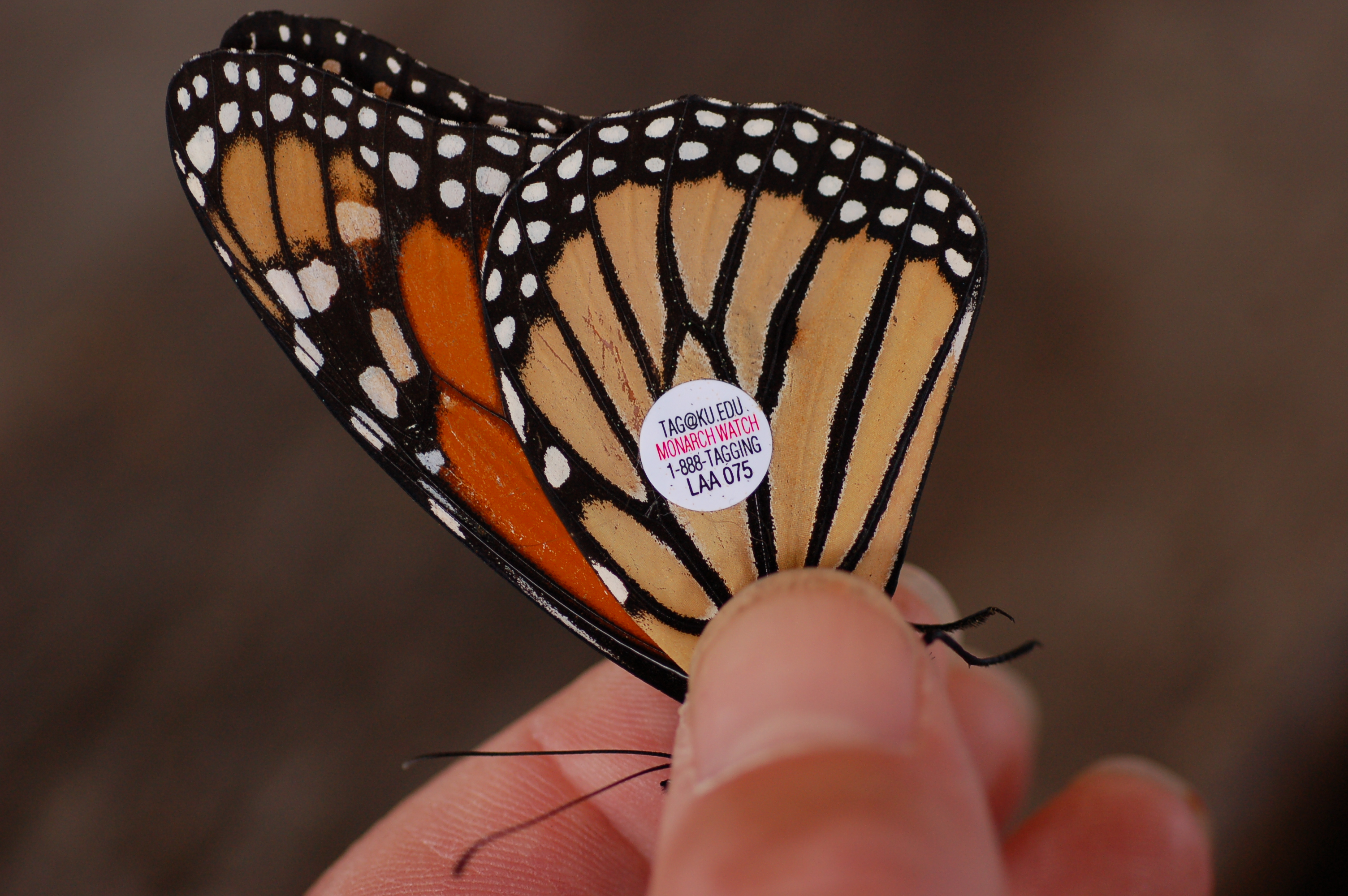 Monarch butterfly body - photo#4