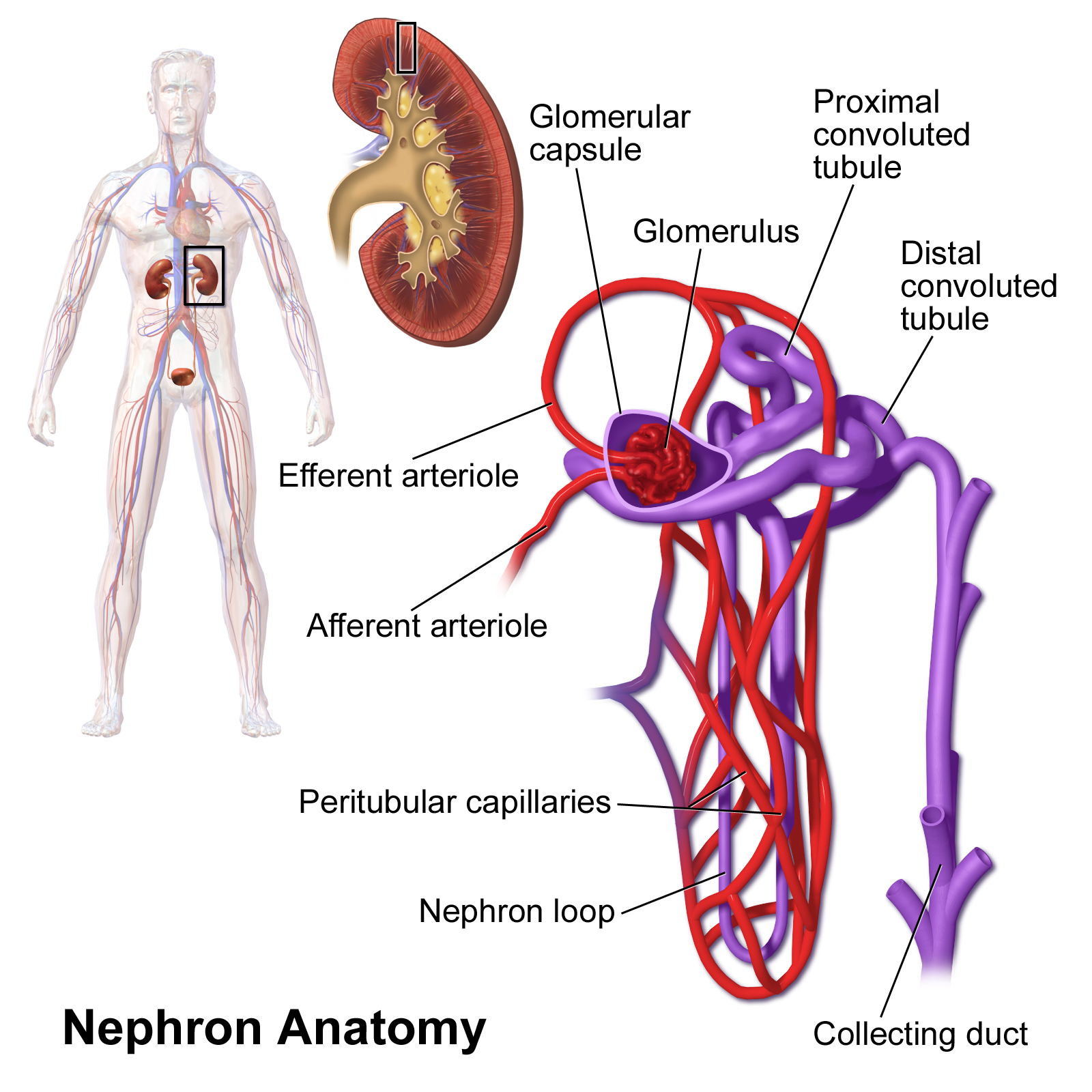 Fein Wikipedia Weibliche Anatomie Fotos - Menschliche Anatomie ...