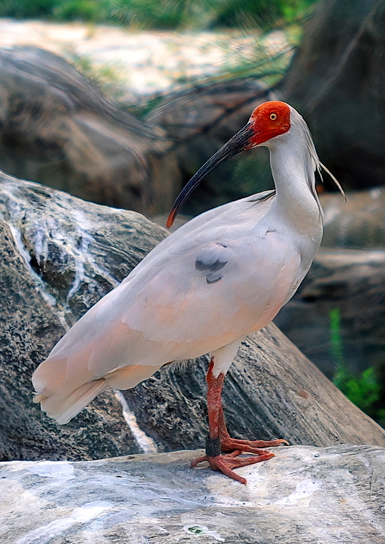 Crested ibis wikipedia buycottarizona Choice Image