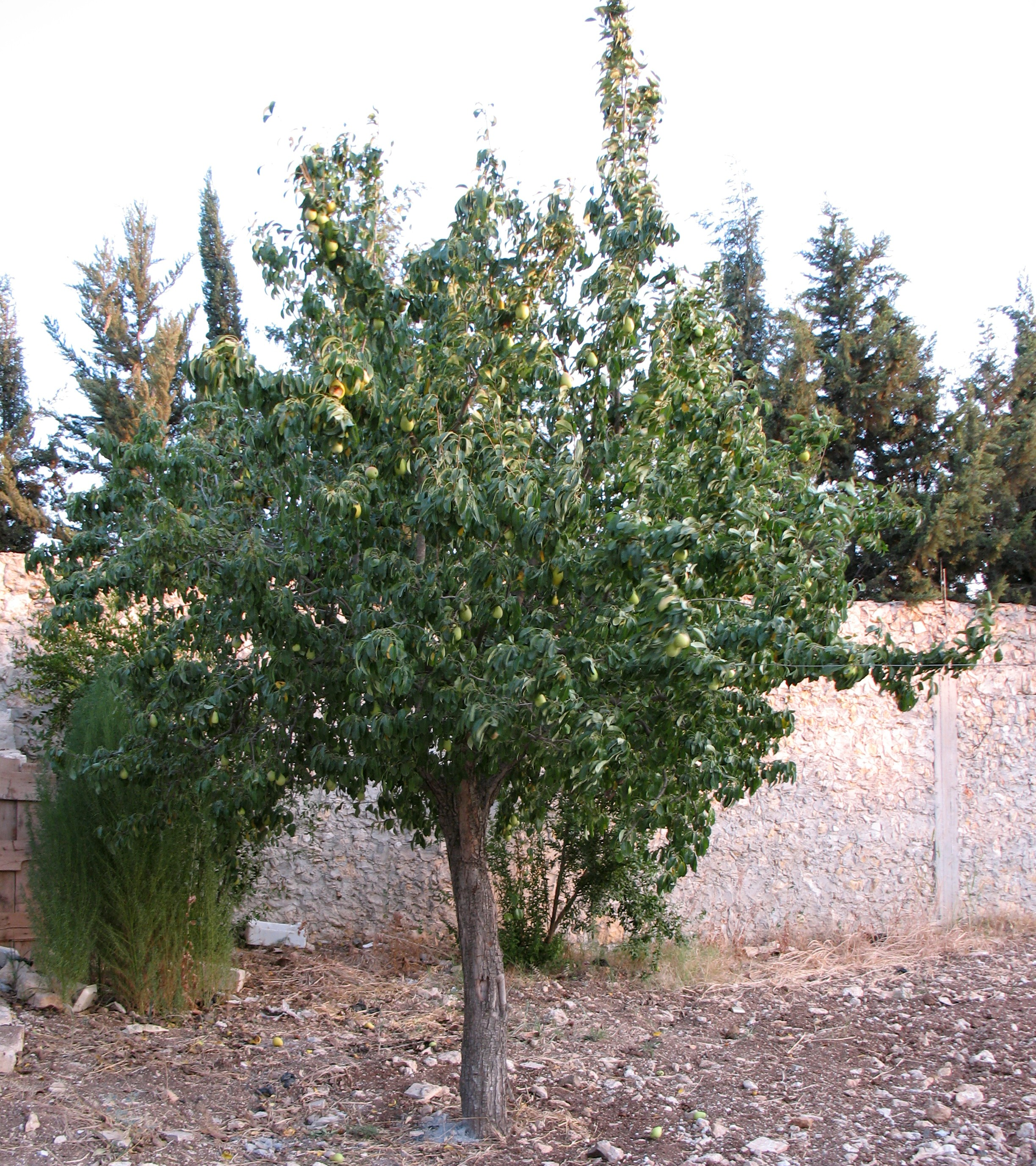 Description Pear tree.jpg