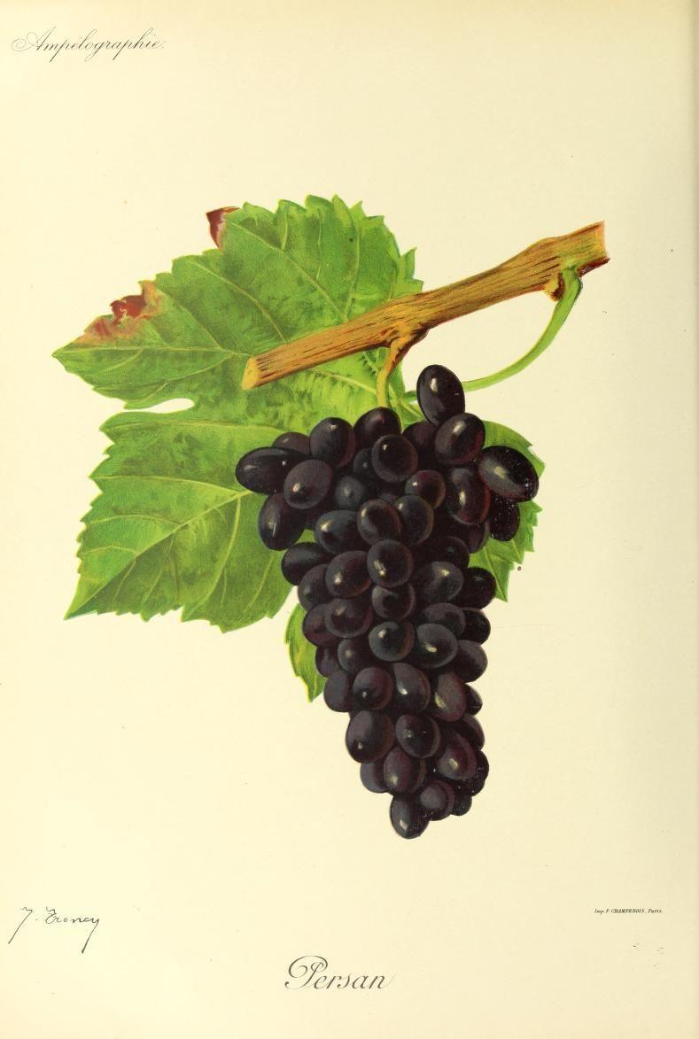 persan grape wikipedia