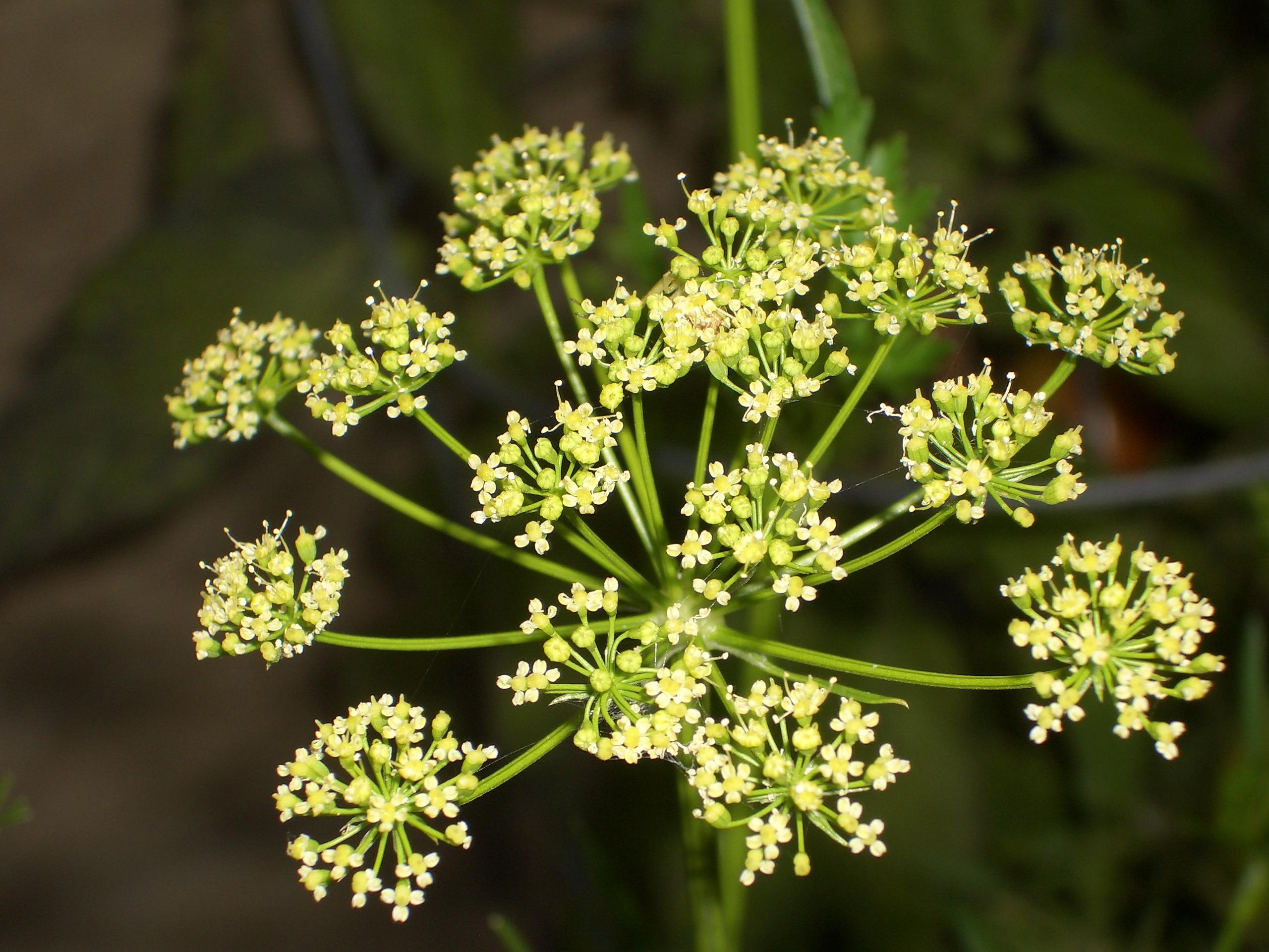 Is Parsley Leaf Or Kelp Powder As A Natural Colorant