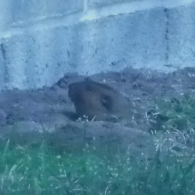 The average litter size of a Mountain pocket gopher is 3