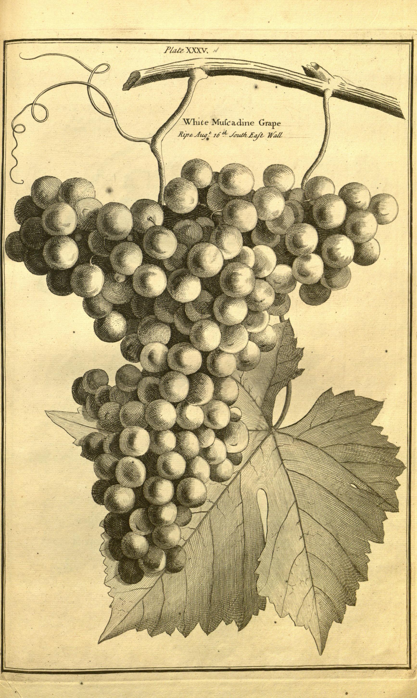 File:Pomona, or, The fruit-garden illustrated (Plate XXXV) (7930068670).jpg - Wikimedia Commons