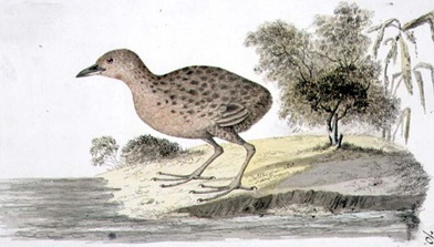 Specimen painted by William Ellis while accompanying Captain James Cook on his third voyage (1776–78)