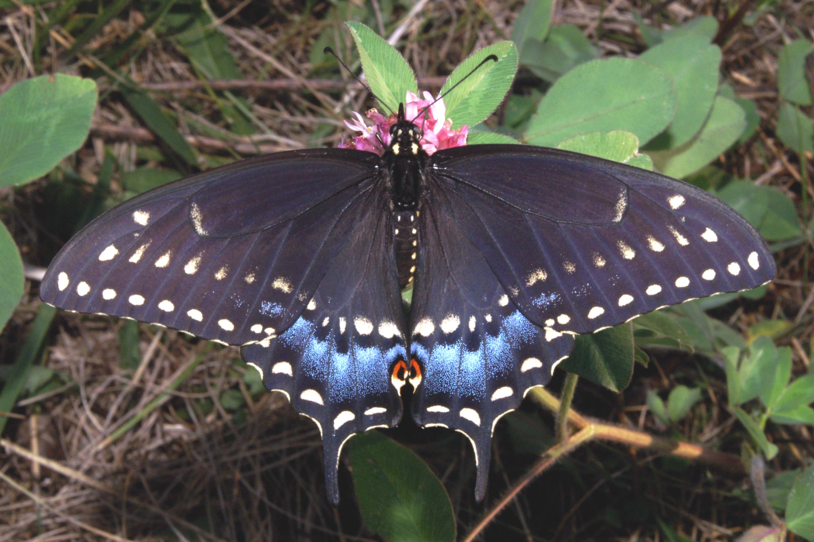 Pristine Black Swallowtail.jpg