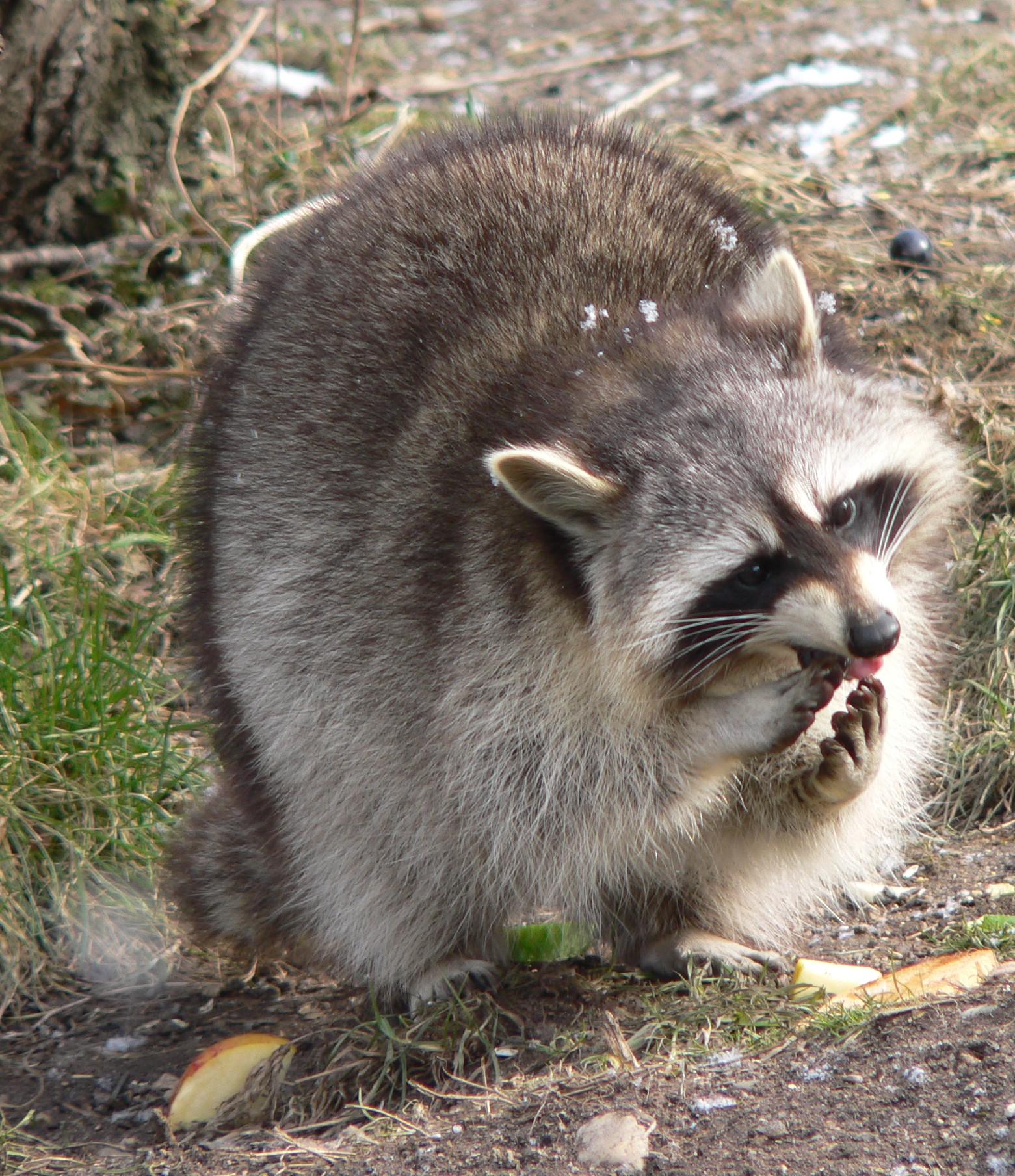 Raccoon Dog Do Have Big Balls