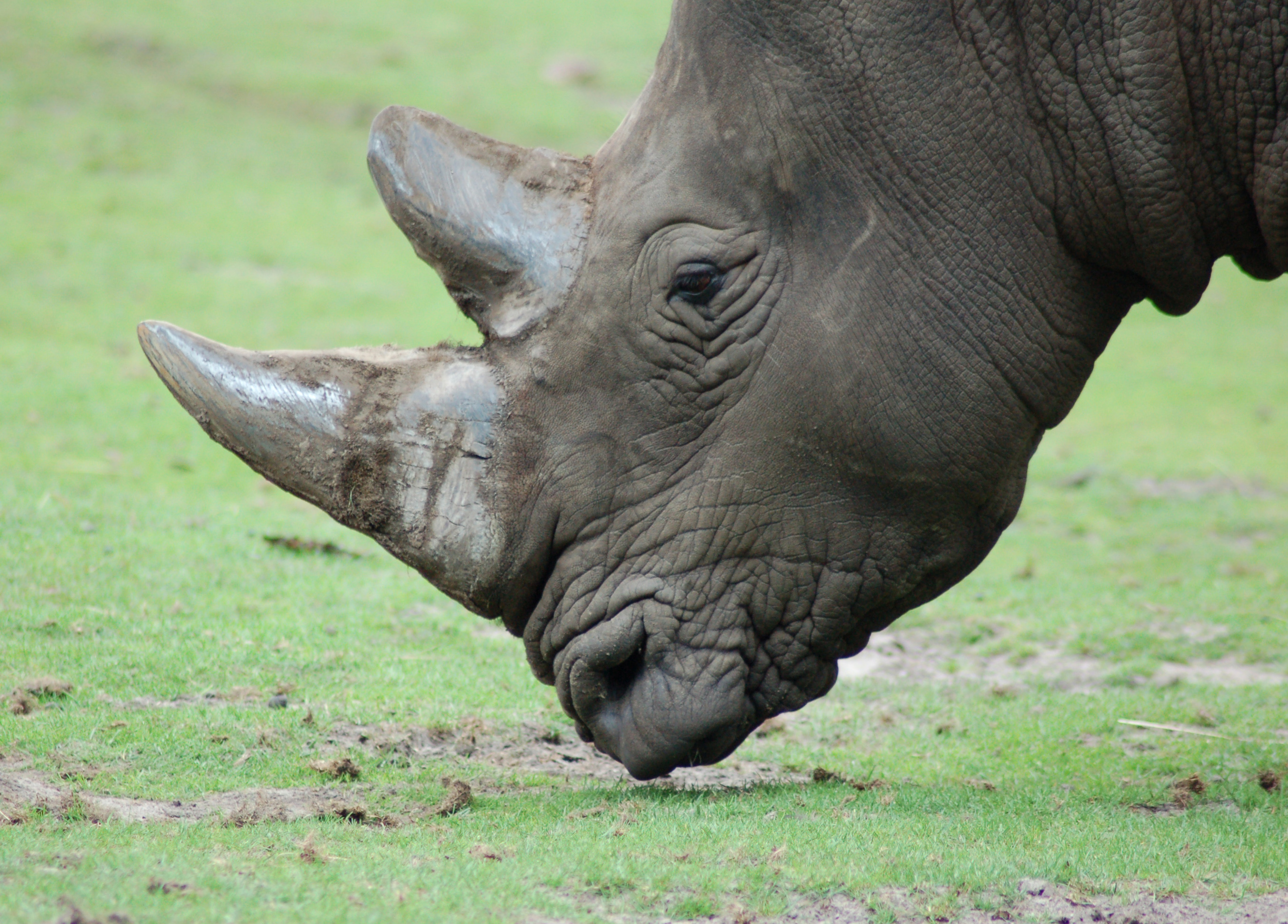 File:Rhinoceros (4872071091).jpg - Wikipedia