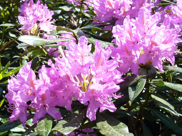 Rhododendron in The Roughs - geograph.org.uk - 818922