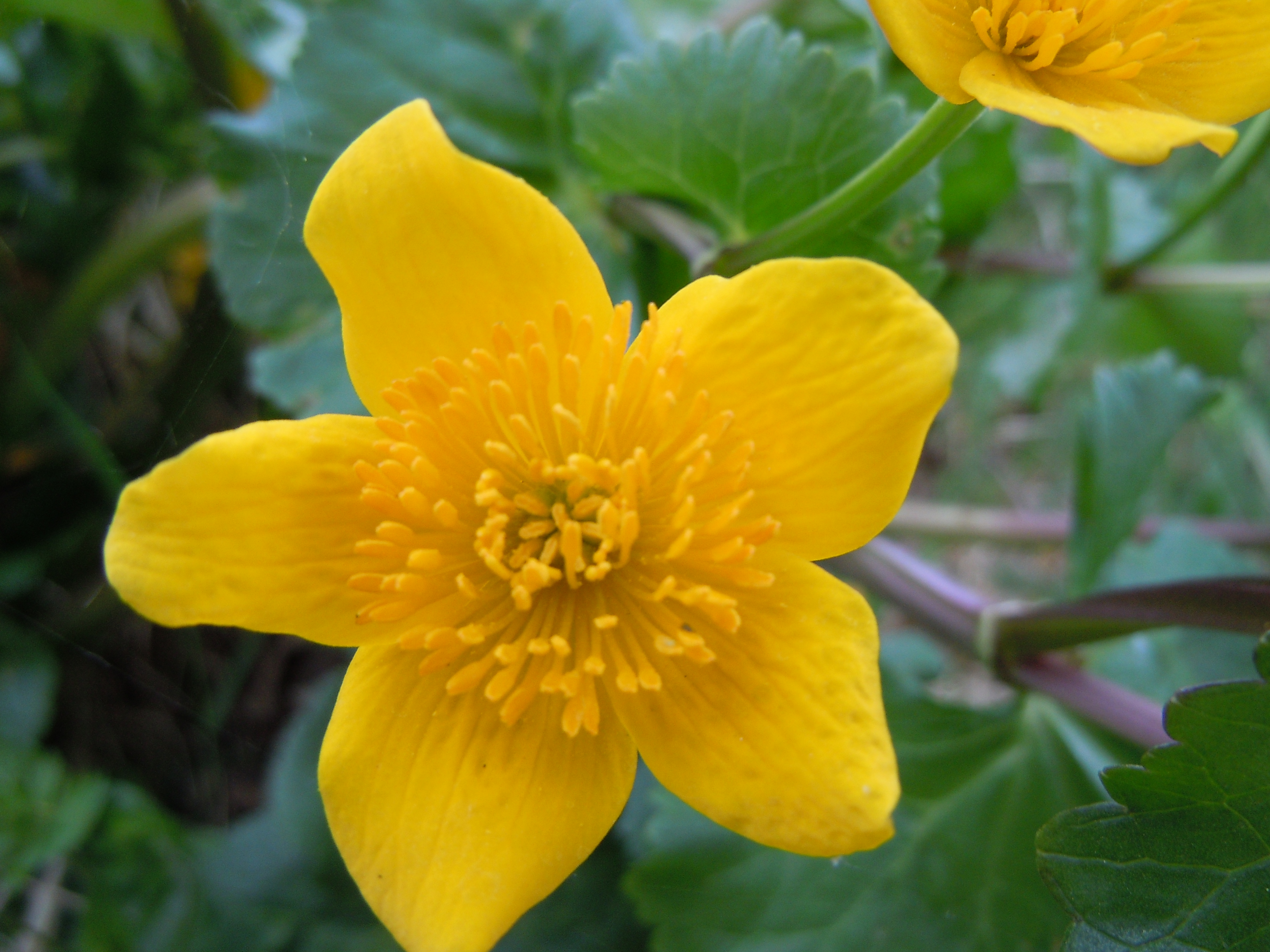 File Romanian Flora Wild flower 00 JPG