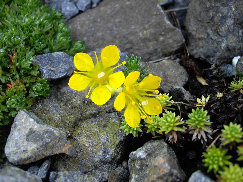 Saxifraga × eudoxiana 'Gold Dust' 3