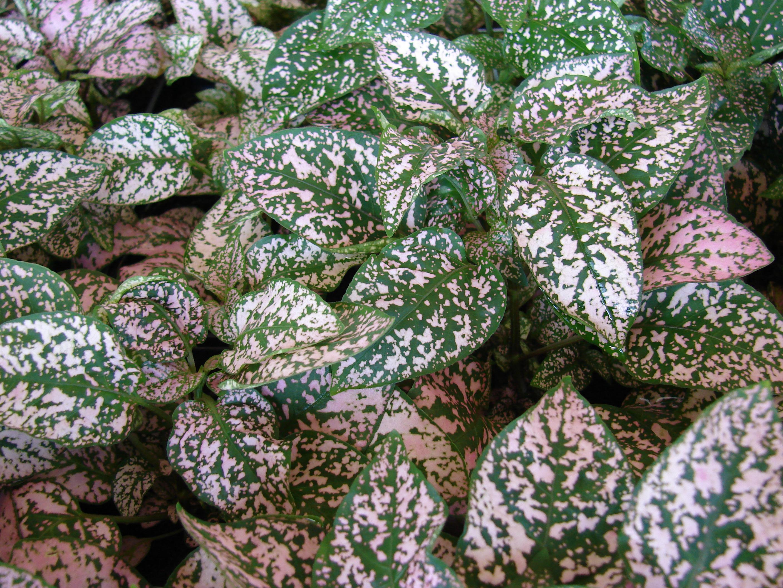 File starr 070821 8070 hypoestes for Nombres d plantas ornamentales