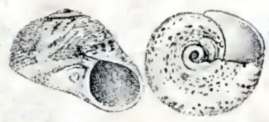<i>Tegula cooksoni</i> species of mollusc