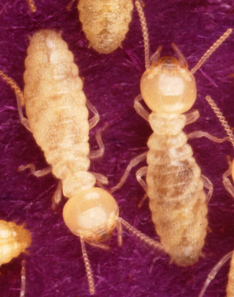 Image result for type of termite: formosan termites