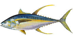 Yellowfin tuna species of fish