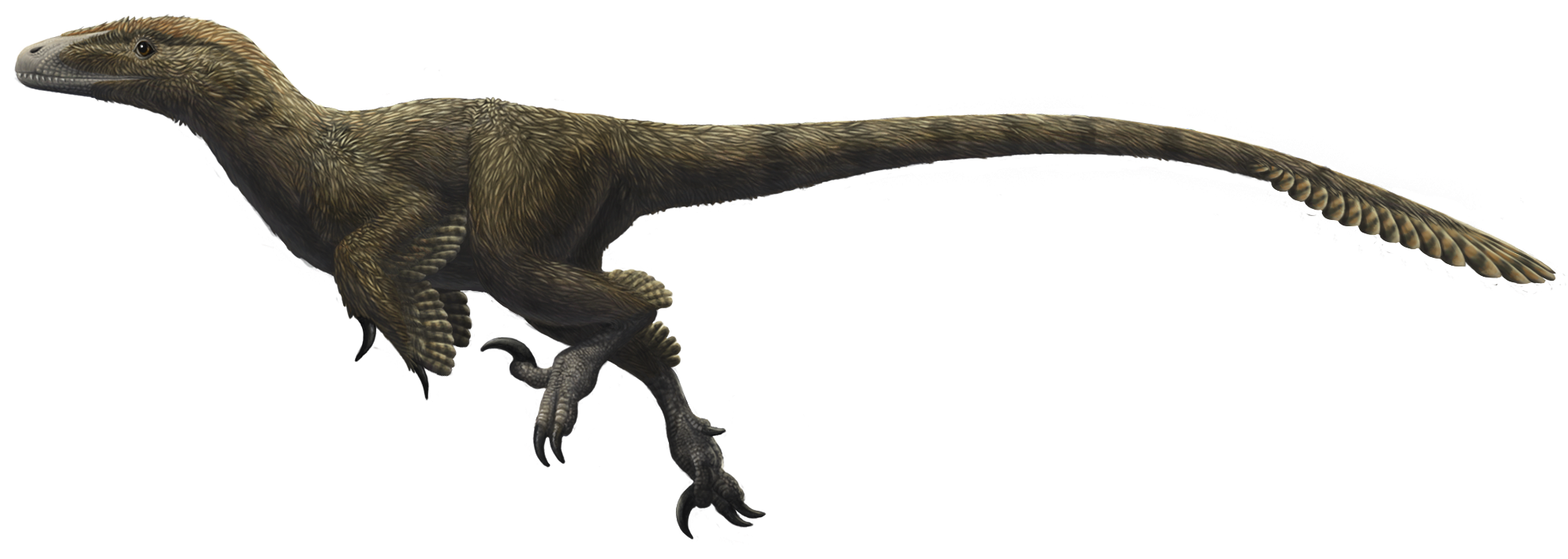 File:Utahraptor ostrommaysorum.png - Wikimedia Commons